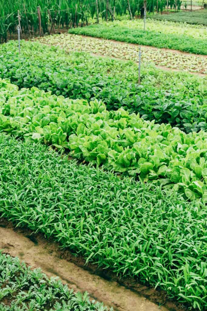 green leafy vegetables being farmed on a biodynamic farm