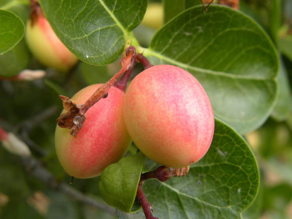 foods that start with i - Small pink and yellow color fruits of Coco Plum fruits in the garden.