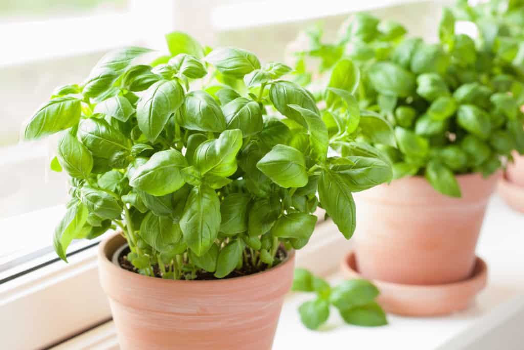 foods that start with b - basil