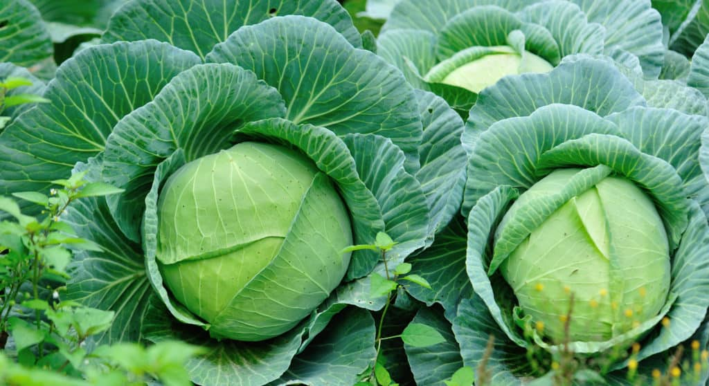 Green cabbages in growth at vegetable garden - foods that start with c