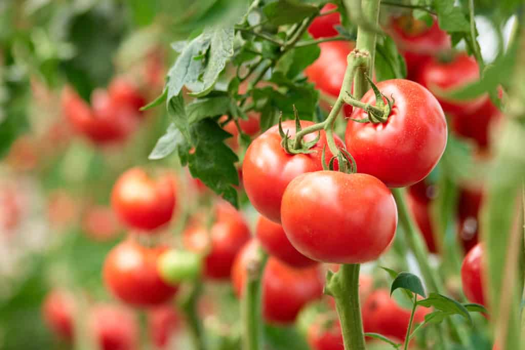 bush tomato - Three ripe tomatoes on green branch. Home grown tomato vegetables growing on vine in greenhouse. Autumn vegetable harvest on organic farm.