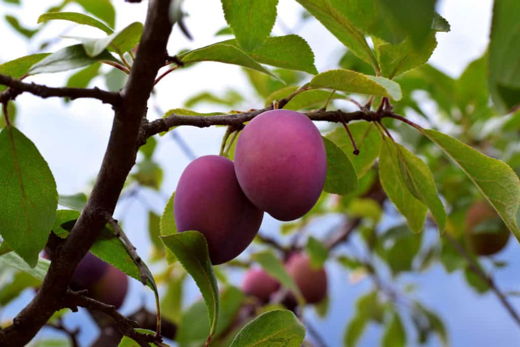 Damson plums ripening on the tree in the garden - foods that start with d