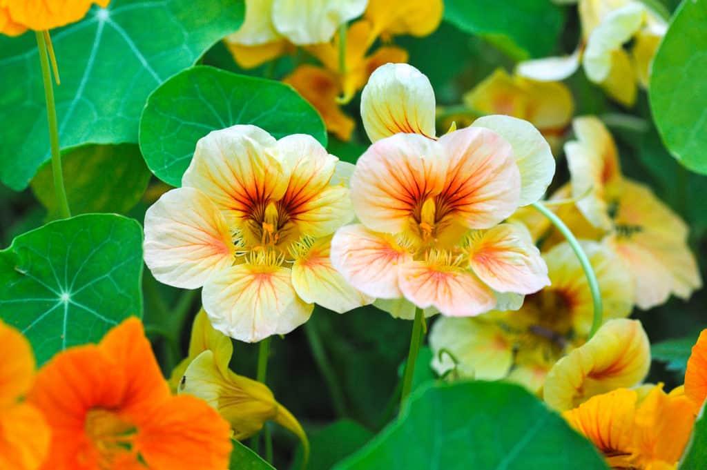 blooming yellow and orange nasturtium in garden - foods that start with n